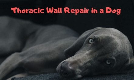 Thoracic Wall Repair in a Dog – Surgery Video