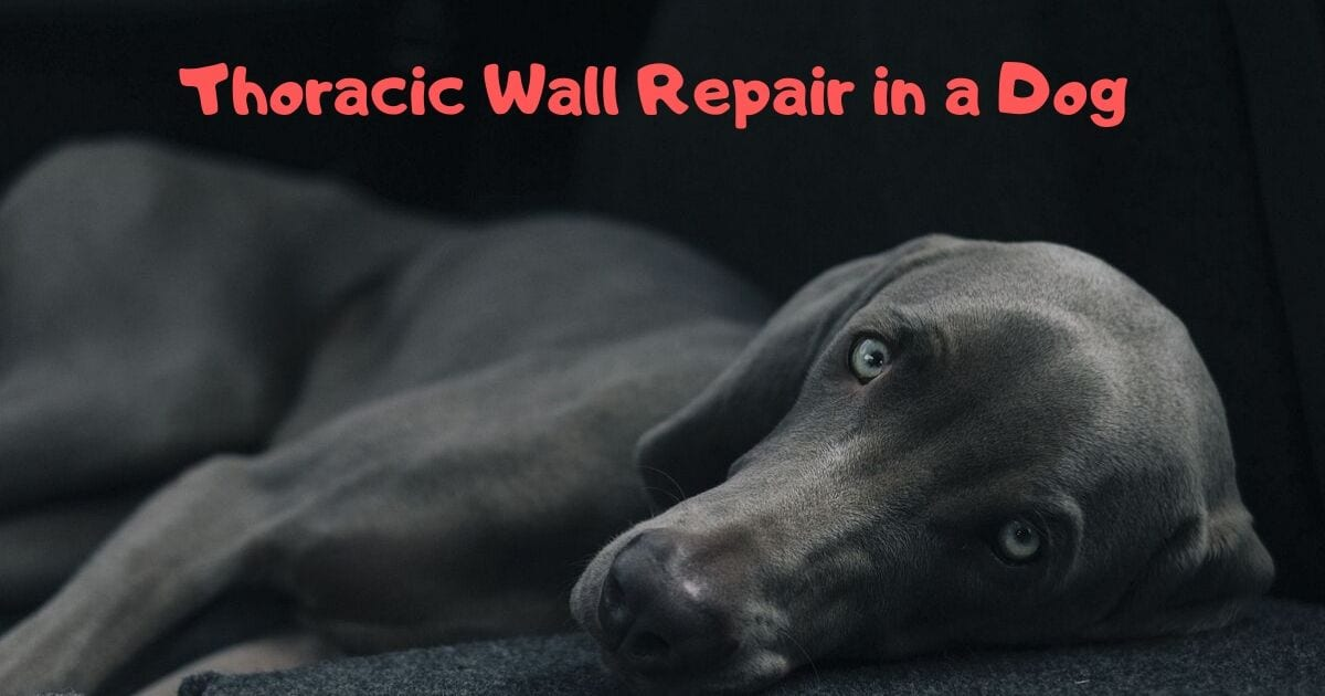 Thoracic Wall Repair in a Dog - Veterinary Surgery