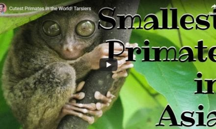 Tarsiers – Video by Dr. Evan Antin