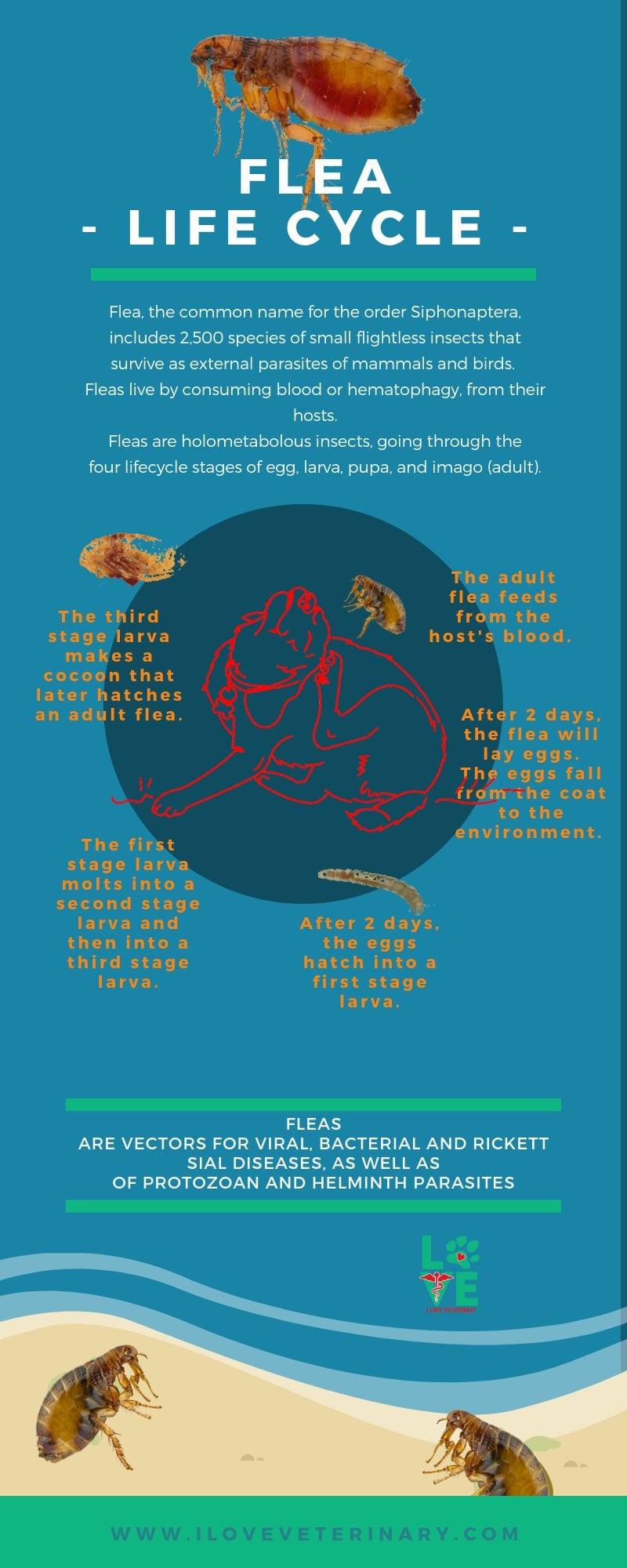 FLEA LIFE CYCLE I Love Veterinary - Blog for Veterinarians, Vet Techs, Students