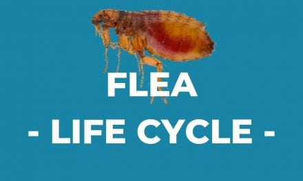 Flea – Life Cycle