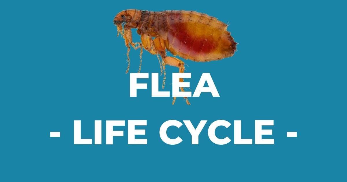 Flea – Life Cycle