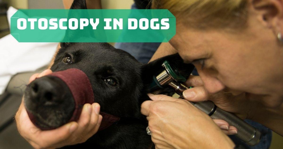 Otoscopy in dogs