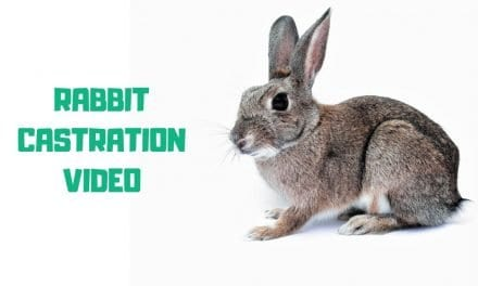 Rabbit Castration Video