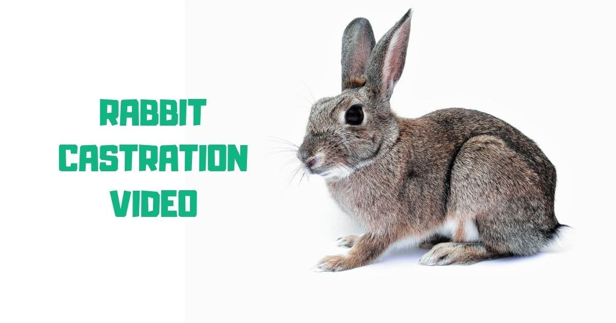 rabbit castration video