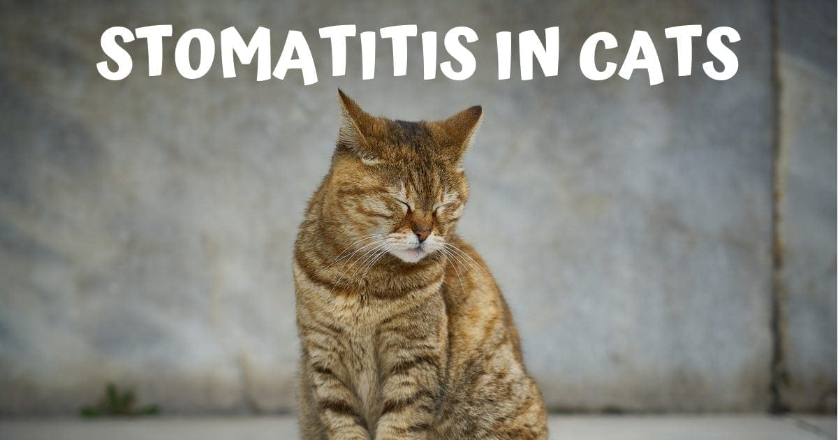 Stomatitis in cats