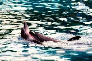 two dolphins cuddling