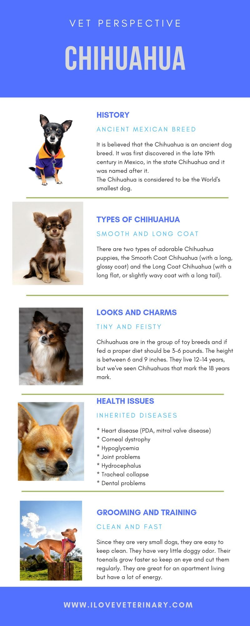 chihuahua dog national chihuahua appreciation day, infographic
