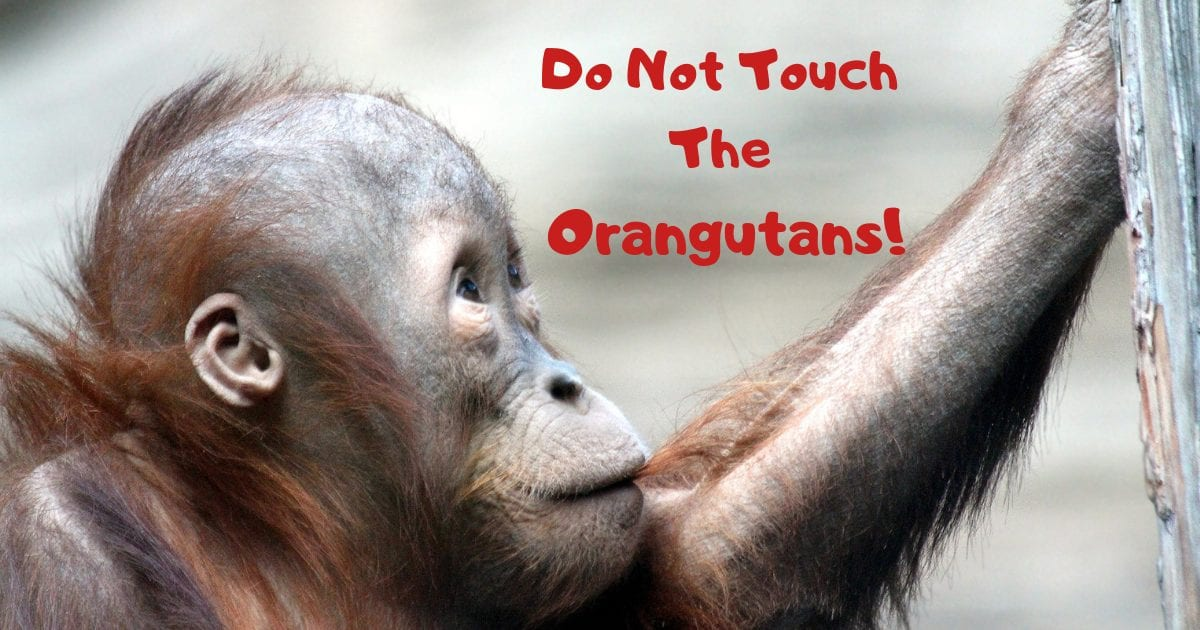 Do Not Touch The Orangutans!
