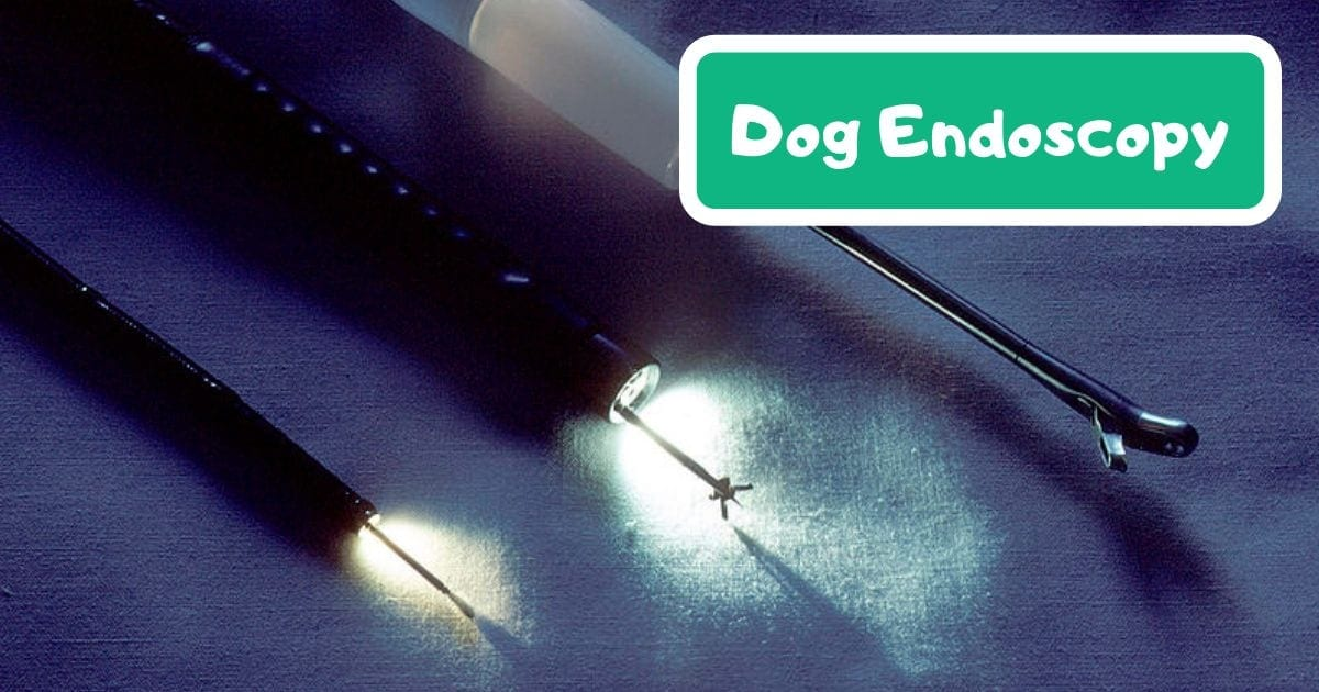 Dog endoscopy