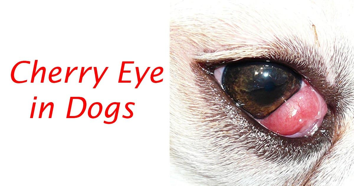 Cherry Eye in Dogs Article Title