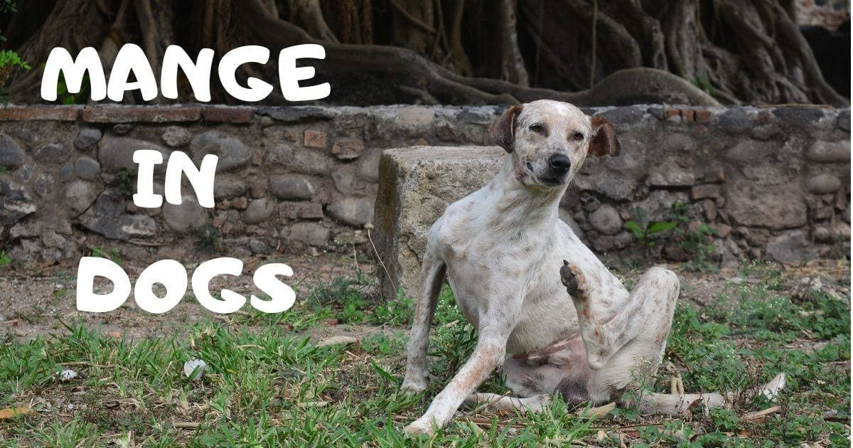 mange in dogs by i love veterinary