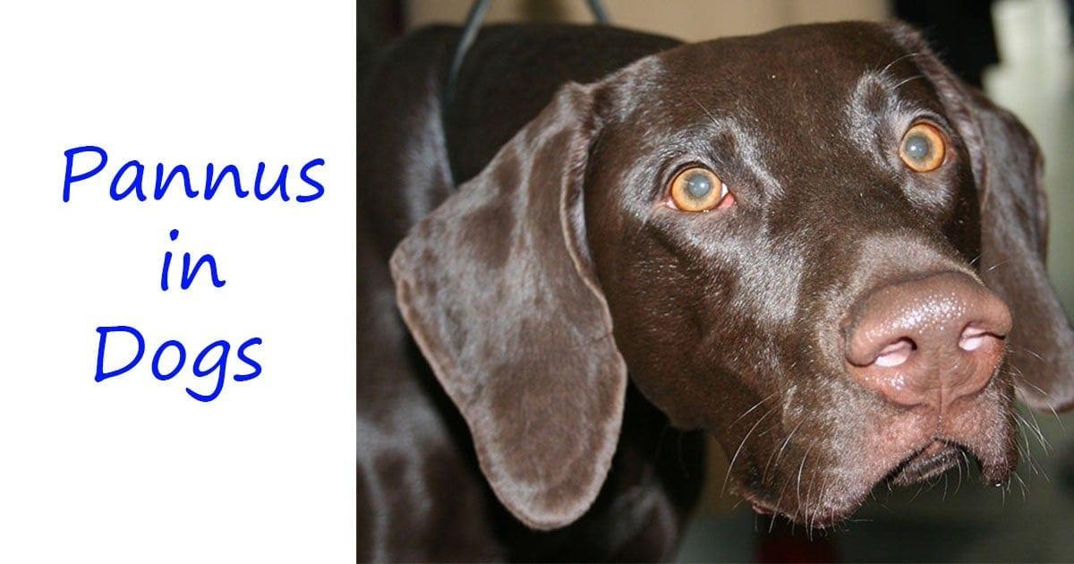 Pannus in dogs