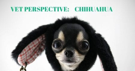 Vet Perspective: Chihuahua