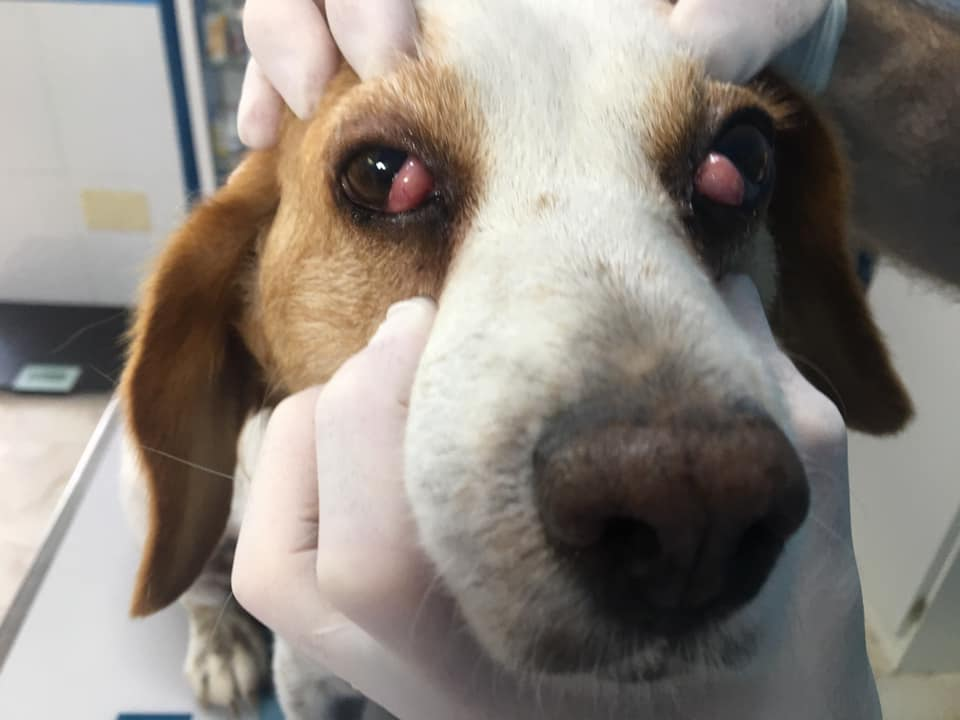 Jack Russell with cherry eye