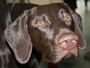 chocolate labrador with healthy eyes