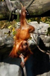 orangutan baby hanging upside down