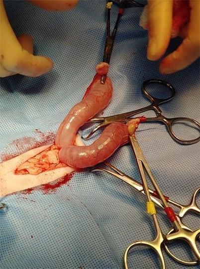 Infected Pyometra in Cats