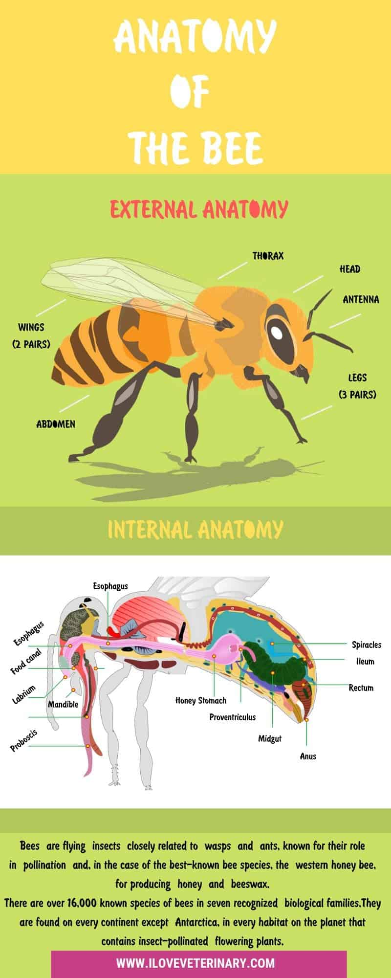 anatomy of the bee infographic