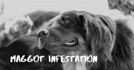 Maggot infestation