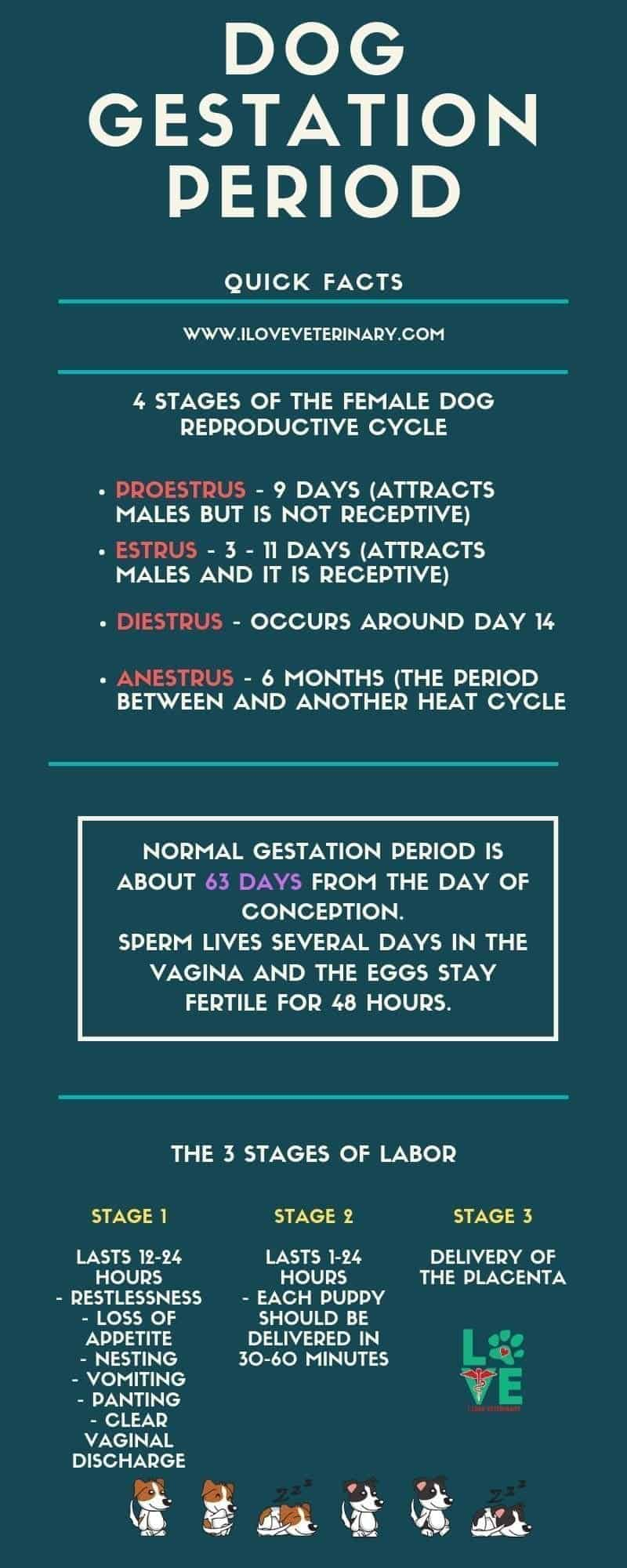 dog gestation period infographic