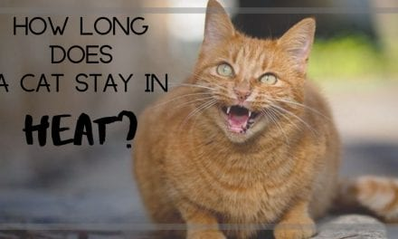 How long does a cat stay in heat?