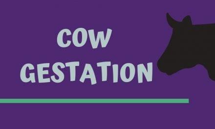 Cow Gestation