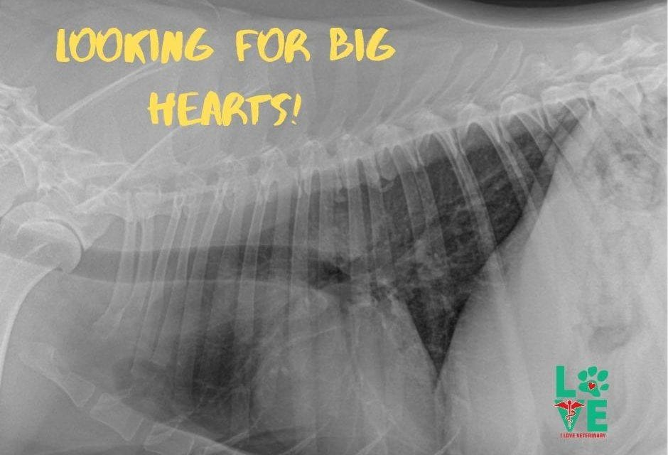 X-rays of an enlarged heart in dogs
