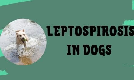 Leptospirosis in Dogs – All You Need To Know