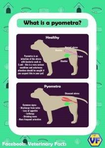Pyometra explanation graphic