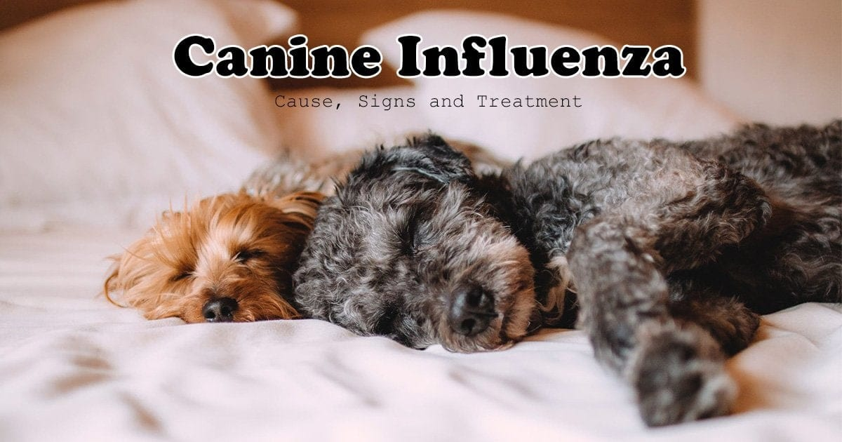 canine influenza, two dogs laying on bed I love veterinary