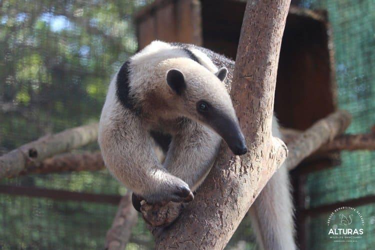 Cassius, the Tamanduas anteater