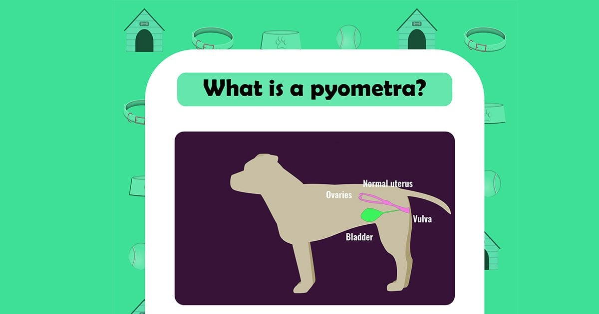 What is pyometra dog graphic I love veterinary
