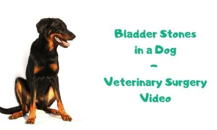 Bladder Stones in a Dog – Veterinary Surgery Video