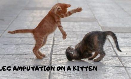 Leg amputation on a kitten – Veterinary Surgery Video