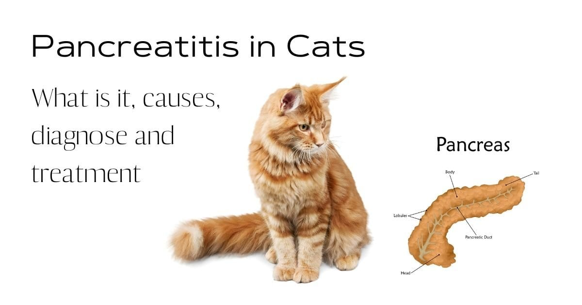 Pancreatitis in Cats – What is it, causes, diagnose and treatment