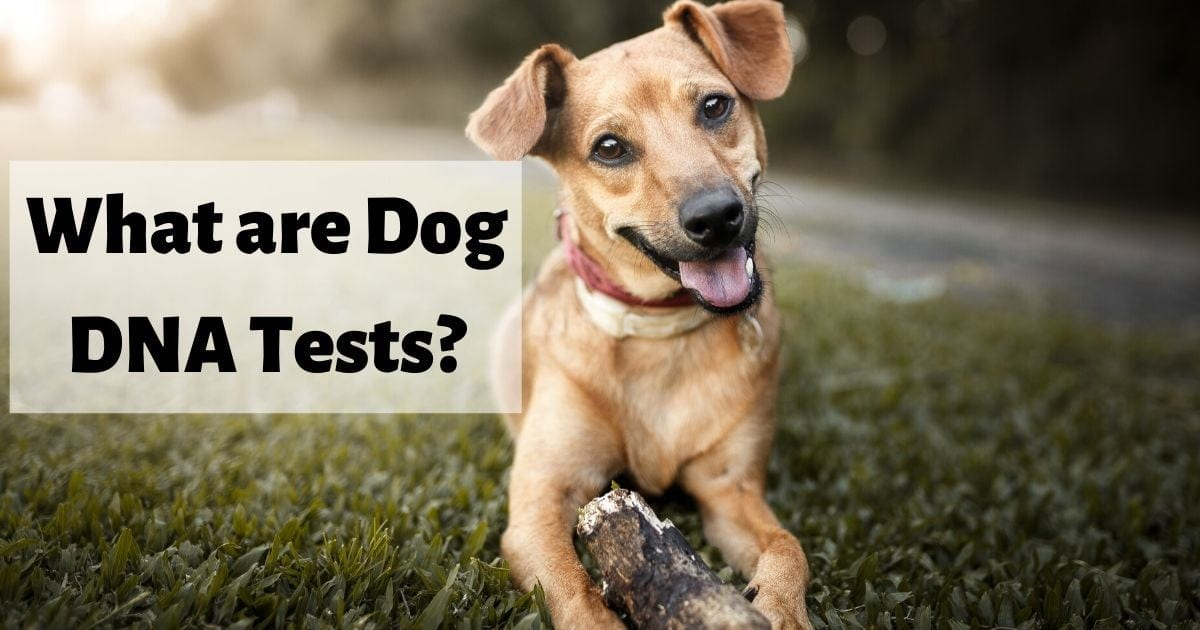 Dog Mutt laying on grass, what are dog DNA tests?I Love Veterinary