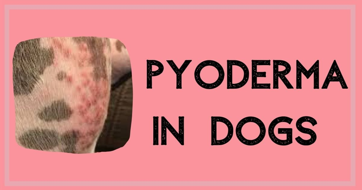 pyoderma in dogs
