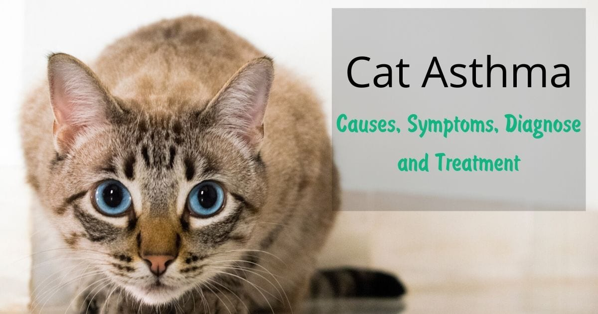 Cat Asthma - Causes, Symptoms, Diagnose and Treatment I love veterinary