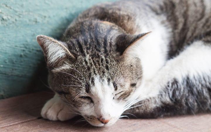 Cat lethargy I love veterinary