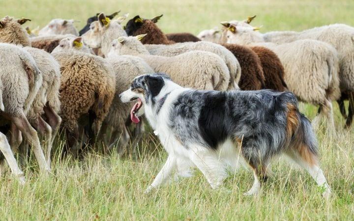 herding dog, border collie, I Love Veterinary