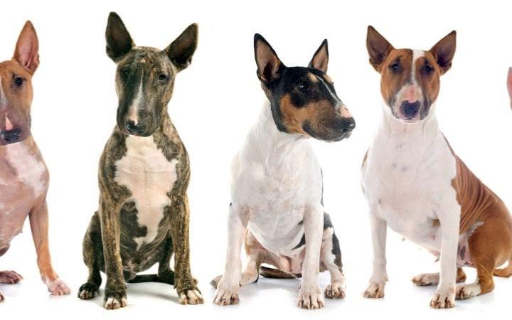 bull terrier dog I Love Veterinary