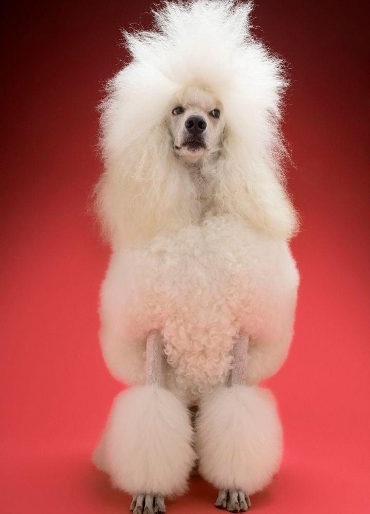 standard poodle dog I Love Veterinary