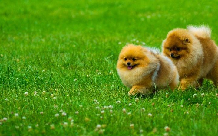 pomeranians running in the grass, I Love Veterinary