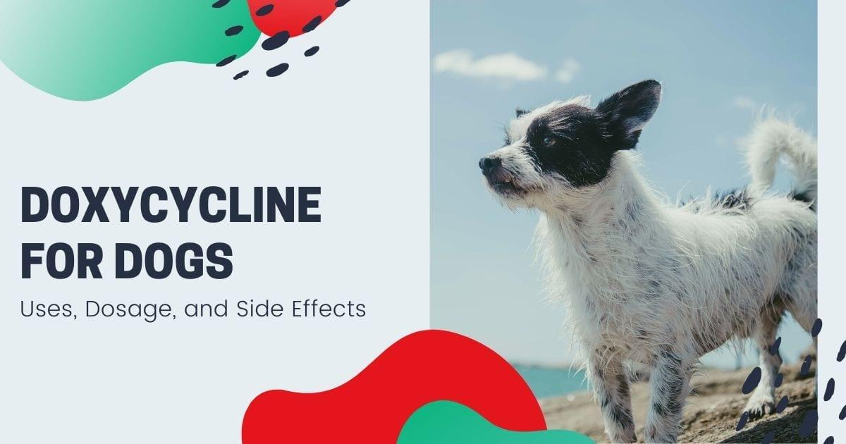 Doxycycline For Dogs - I Love Veterinary