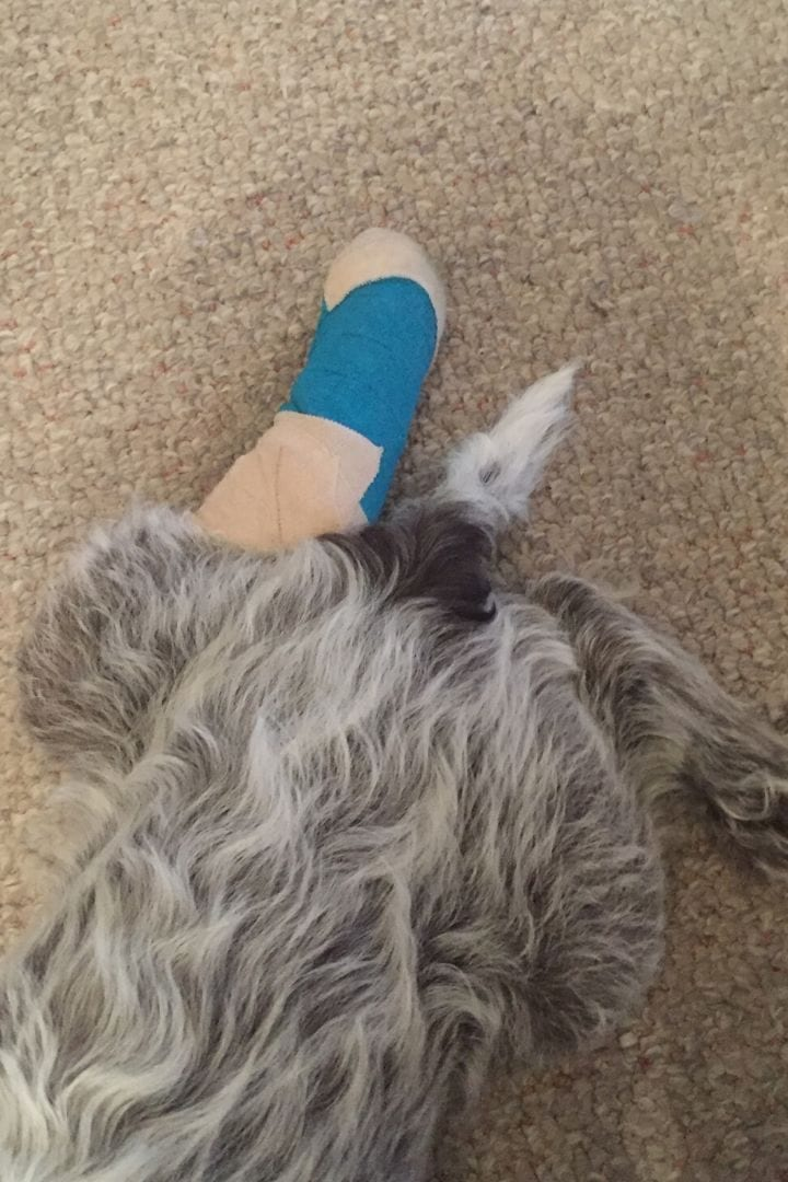 Dog with injured leg - I Love Veterinary