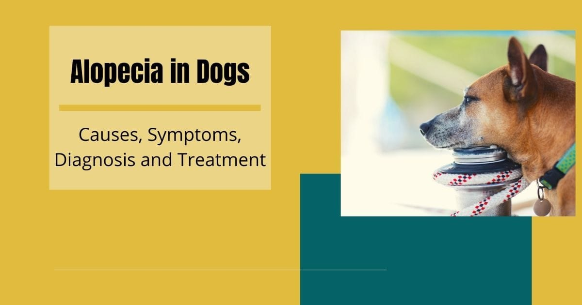 Alopecia in Dogs - I Love Veterinary