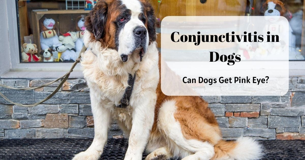Conjunctivitis in Dogs – Can Dogs Get Pink Eye?
