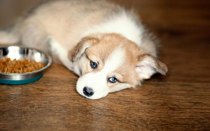 Dog with lack of appetite, side effects of Enalapril for dogs - I Love Veterinary