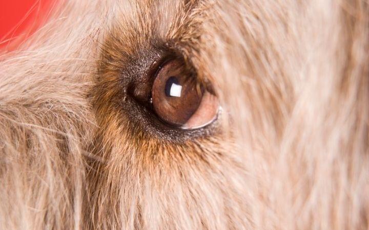 Pink eye in dogs - I Love Veterinary